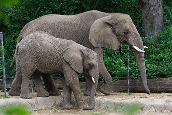 Toledo Zoo Elephants